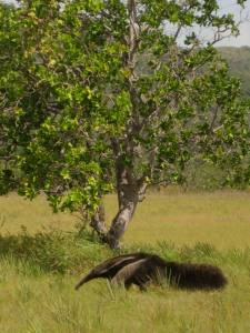 Giant-Anteater-on-the-Savannah-OK-225x300
