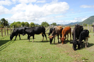 Dairy-Cattle-on-the-Ranch-OK-300x200